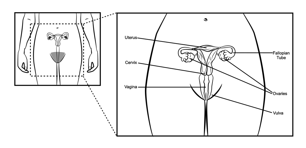 Female Reproductive System Illustrations To Assist In Teaching