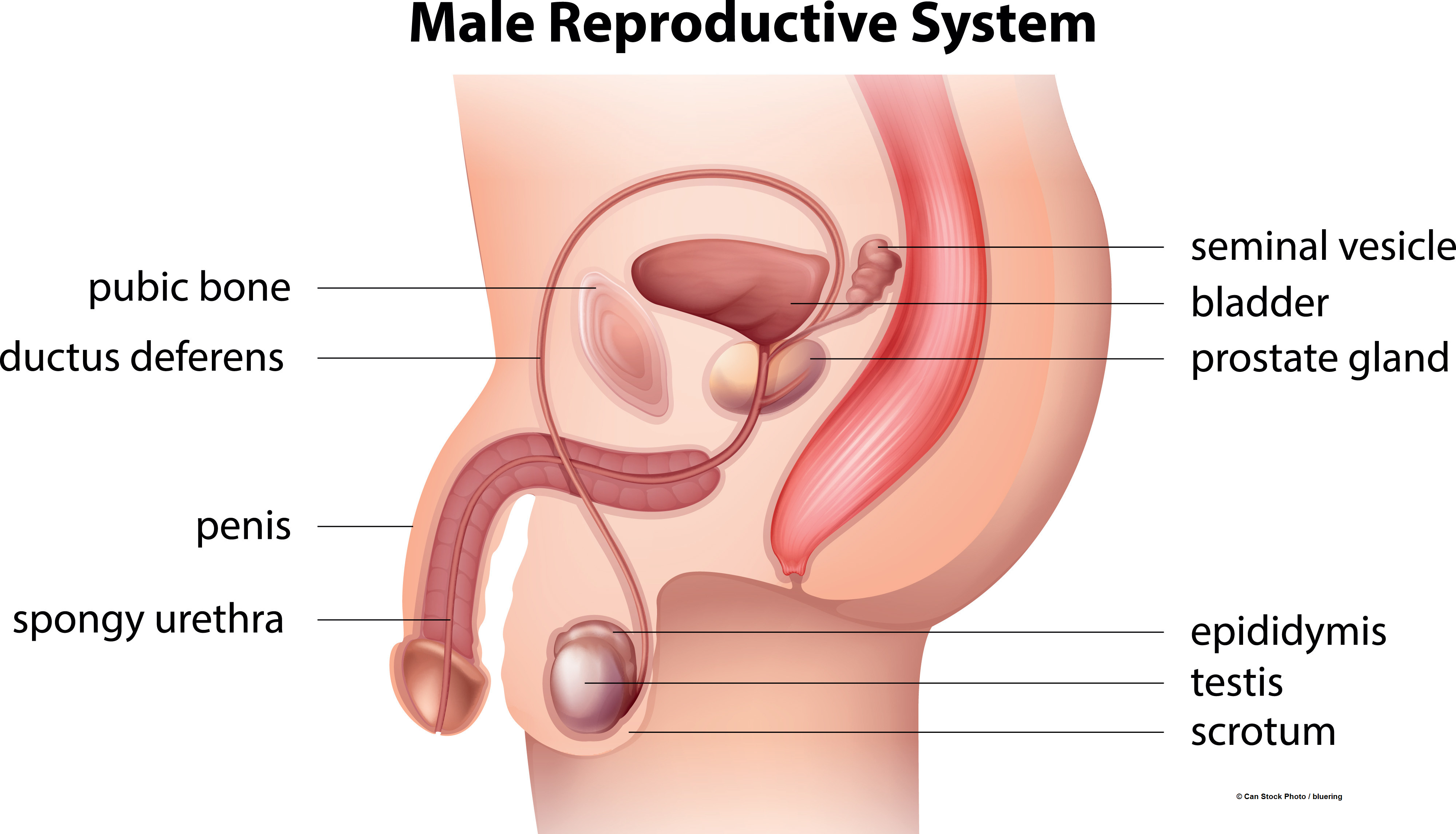 Male Reproductive System Illustrations To Assist In Teaching