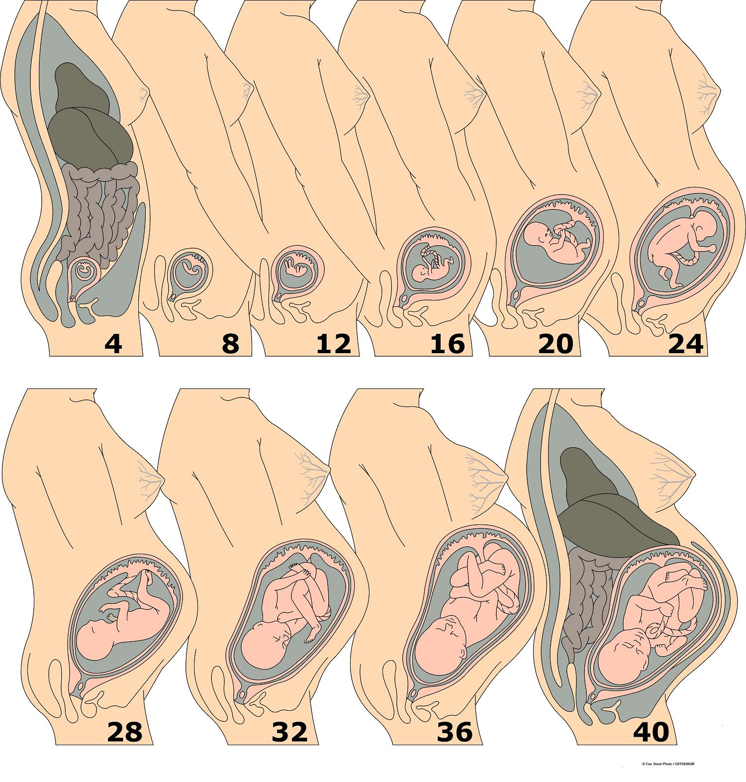 Расположение матки при беременности по неделям
